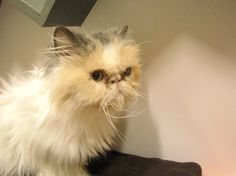 Grumpy face? Maybe. Grumpy personality? Hardly. Vannetta, a 10 year old Persian cat, is extremely sweet and loves to give headbutts.