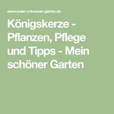 Trend K nigskerze Pflanzen Pflege und Tipps Beautiful GardenIdeas