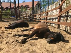 Odi and Browar while sleeping - Huculs horses in the Hotel & Resort SPA WARMIA PARK in Poland (Warmia and Masuria, Pluski near Olsztyn)