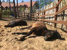 Odi and Browar while sleeping - Huculs horses in the Hotel & Resort SPA WARMIA PARK in Poland (Warmia and Masuria, Pluski near Olsztyn)