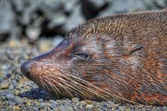 Snoozing seal