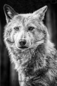 """Wolf"" by PaulEdmondson! Find more inspiring images at ViewBug - the world's most rewarding photo community. http://www.viewbug.com/photo/8416361"