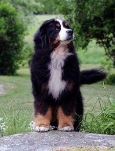 Cute Bernesse Mountain Dog Puppy Portrait