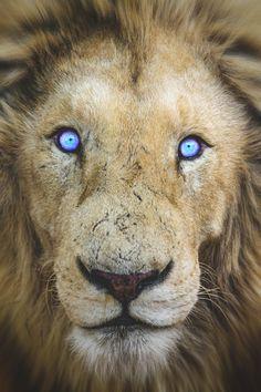 lion blue eyes