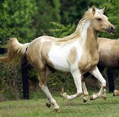 Arabian/Chincoteague Pony