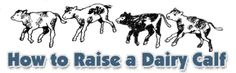 How to Raise A Dairy Calf    Guide to raising a healthy calf, including disease prevention, iodine dips, scours, stall ventilation.