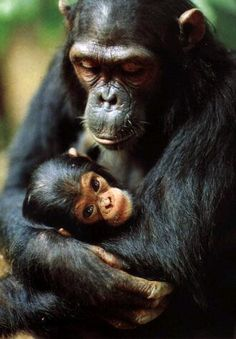 Baby chimp with its mommy:)