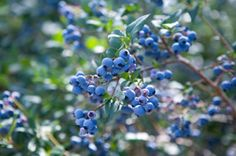 Briteblue Blueberry -08 early to mid-season production and huge, delicious berries.  similar to Tifblue, but are larger and slightly earlier