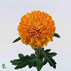 Chrysant sgl. saffier