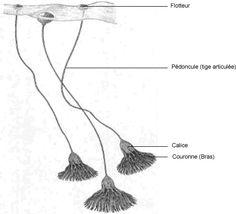 Reconstitution du mode de vie de Scyphocrinites Sp. (d'après Haude et al, 1994)