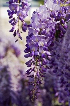 Flower Prints, Flower Art, Purple Wisteria, Wisteria Plant, Small Purple Flowers, Science Images, Lavender Aesthetic, Flowers Nature, Front Yard Landscaping