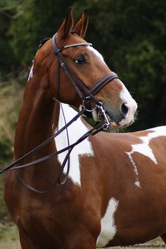 """"""" The American Paint Horse! All The Pretty Horses, Beautiful Horses, Animals Beautiful, Zebras, Cheval Pie, American Paint Horse, Majestic Horse, Mundo Animal, Pets"""