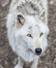 Alawa, The Wolf by Roni Chastain on 500px | Wolf Conservation Center, in S. Salem, NY