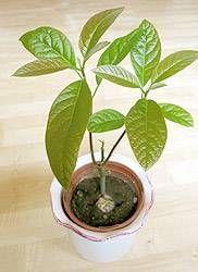 Avocadobaum schneiden pflegen
