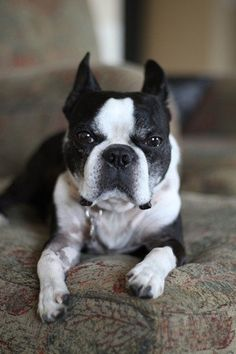 Boston Terrier- Eddy.