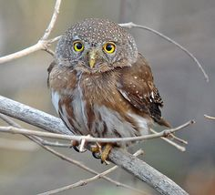 Colima Pygmy-Owl, Mexico.