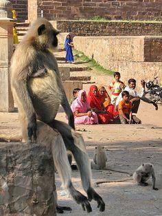 Like a boss~ Common Langur - Ranthambhore National Park, Rajasthan, India