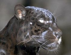 Jaguar is the earth father. As earth father, he presides over the sacred power in the earth and the animals who live upon it. The force that lives within the mountains, which gives them their volcanic and transformative power, is the same underworld source of power and energy as the Jaguar Sun.