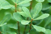 Myrica gale Diy And Crafts, Plant Leaves, Herbs, Nature, Plants, Instagram, Food, Naturaleza, Essen