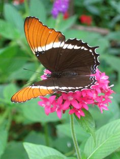 Rusty-tipped Page (Siproeta epaphus - open wings), also known as the Brown Siproeta, is a New World butterfly that lives all year in tropical habitats.