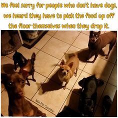 #Mooch #Antican #Barkley #Chloe #Choc #Data #ForSale #Squirt #Chihuahua #minpin #dogs #family #MinPinCountry