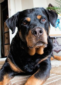 sweet #rotty