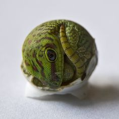 Young madagascar giant day gecko hatching. / Green Orb by ~sagan06 on deviantART