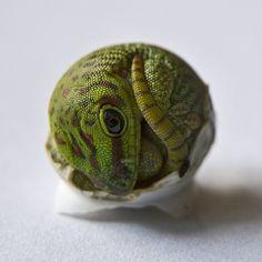 Eclosão madagascar gigante  lagartixa. Ele precisava de um pouco de ajuda extra.