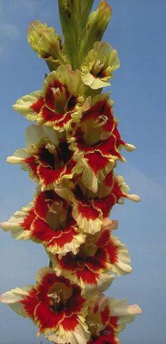 HOLY MOLY. gladiolus