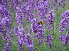 Lavender. Photo: Camilla Sandén