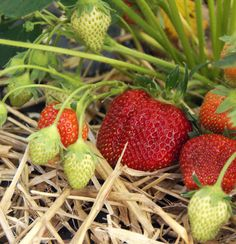 How to grow strawberries. Mulch around strawberry plants to keep fruit from getting dirty. Strawberry Garden, Strawberry Plants, Fruit Garden, Edible Garden, Vegetable Garden, Grow Strawberries, Garden Yard Ideas, Lawn And Garden, Farm Gardens