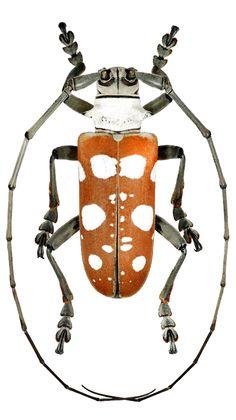 Dolichoprosopus lethalis maculatus