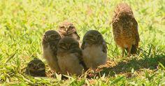 Família de coruja-buraqueira escolhe rotatória da UFSCar para fazer ninho