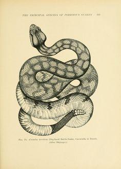 Venoms; - Biodiversity Heritage Library } Dog-Faced Rattlesnake