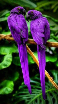Colorful birds - A pair of purple Macaw parrots.i just love the purple Pretty Birds, Love Birds, Beautiful Birds, Animals Beautiful, Stunningly Beautiful, Beautiful Pictures, Absolutely Stunning, Animals Amazing, Two Birds