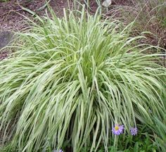 Molinia caerulea: part to full sun