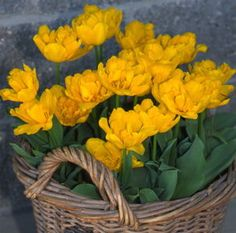 Tulipa - Monte Carlo