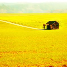 """""""barn on the golden field (by Peter_on_tour)"""" ~ the amazing beauty of yellow"""