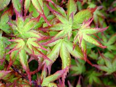 Japanese Maples Acer Palmatum Dwarf