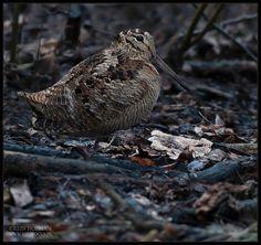 Woodcock. Scolopax rusticola
