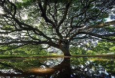 Monkeypod tree Hawaii