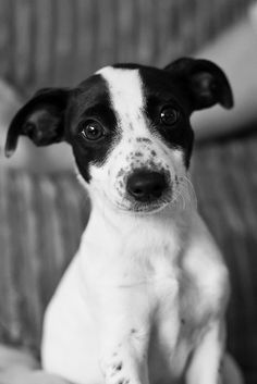 A sweet Rat Terrier ...