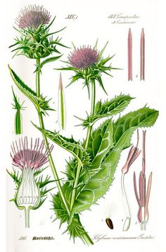 Healing herbs or more commonly known as medicinal herbs are said to be effective when it comes to healing certain allergies as well as renewing and increasing vitality in the body. Medicinal herbs have been in use for centuries and are recognized as. Vintage Botanical Prints, Botanical Drawings, Botanical Art, Botanical Illustration, Healing Herbs, Medicinal Plants, Milk Thistle Benefits, Illustration Botanique, Wild Edibles