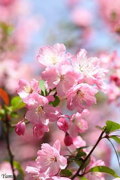 Pretty Pink Blossoms of Japan - Maybe can't have these here in Canada, but certainly are beautiful.