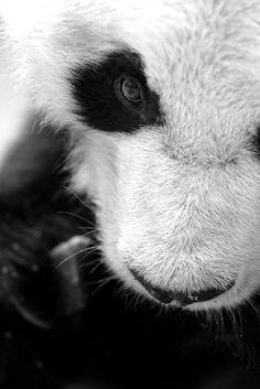 panda bear close up / beautiful animal photography