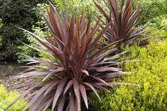 Asparagaceae - CORDYLINE AUSTRALIS 'RED SENSATION'
