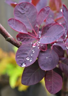 Purple Smoke Tree- planted one of these last year - love the color ! Just mulched around it and it's come back stronger and prettier this year !