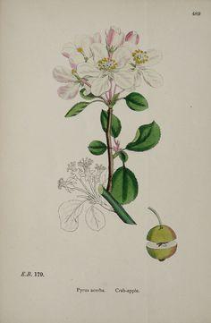1873 Antique botanical print of a WILD APPLE by AntiquePrintsOnly