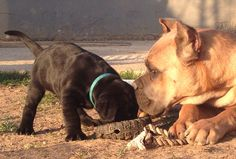 Best friends, black and formentino cane corso