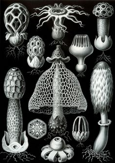 Ernst Haeckel – Art Forms of Nature: Basimycetes